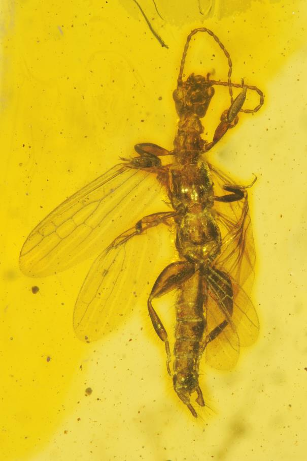 Very rare webspinner (Embioptera) in Dominican amber