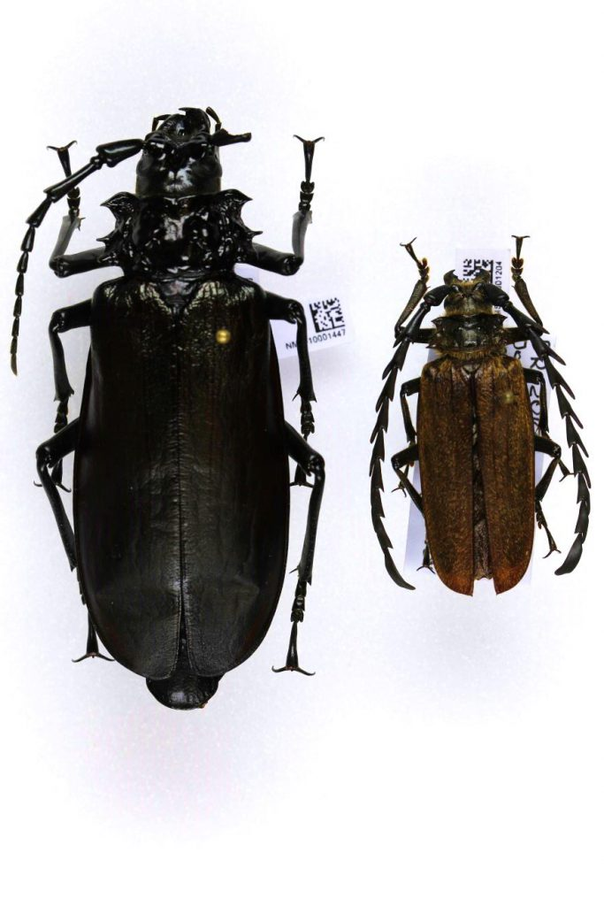 Long-horn beetle, Prionus (Trichiprionus) aureopilosus, male (right) and female (left)