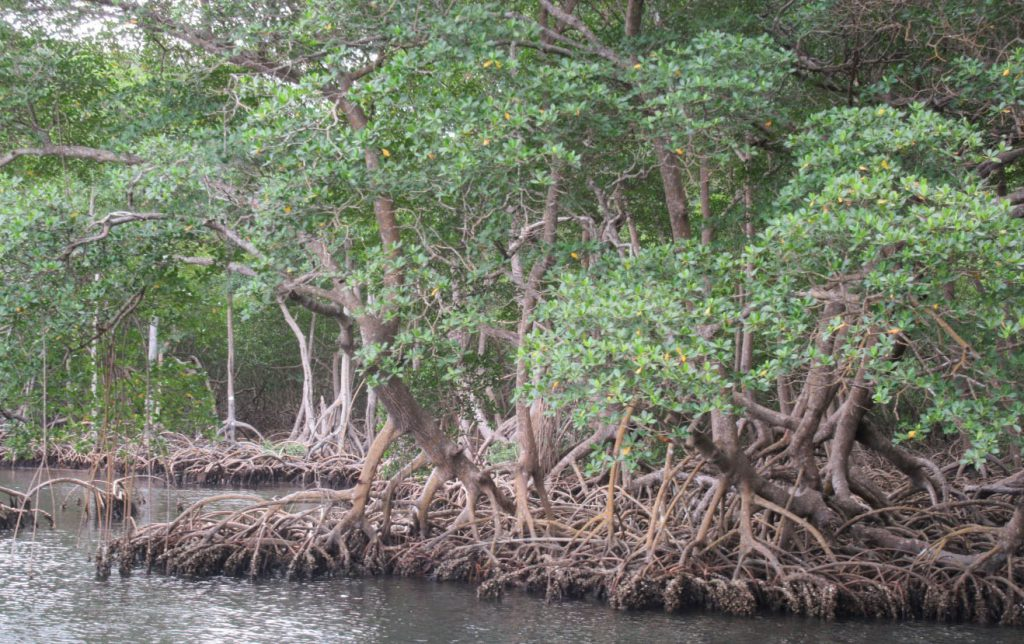 Entering the mangrove swamp at the edge of Los Haitises National Park