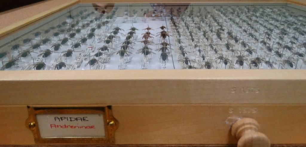 Rows of bees laid out in a drawer