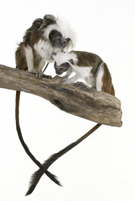 Cottontop tamarin monkeys, black and white with fluffy heads and long tails