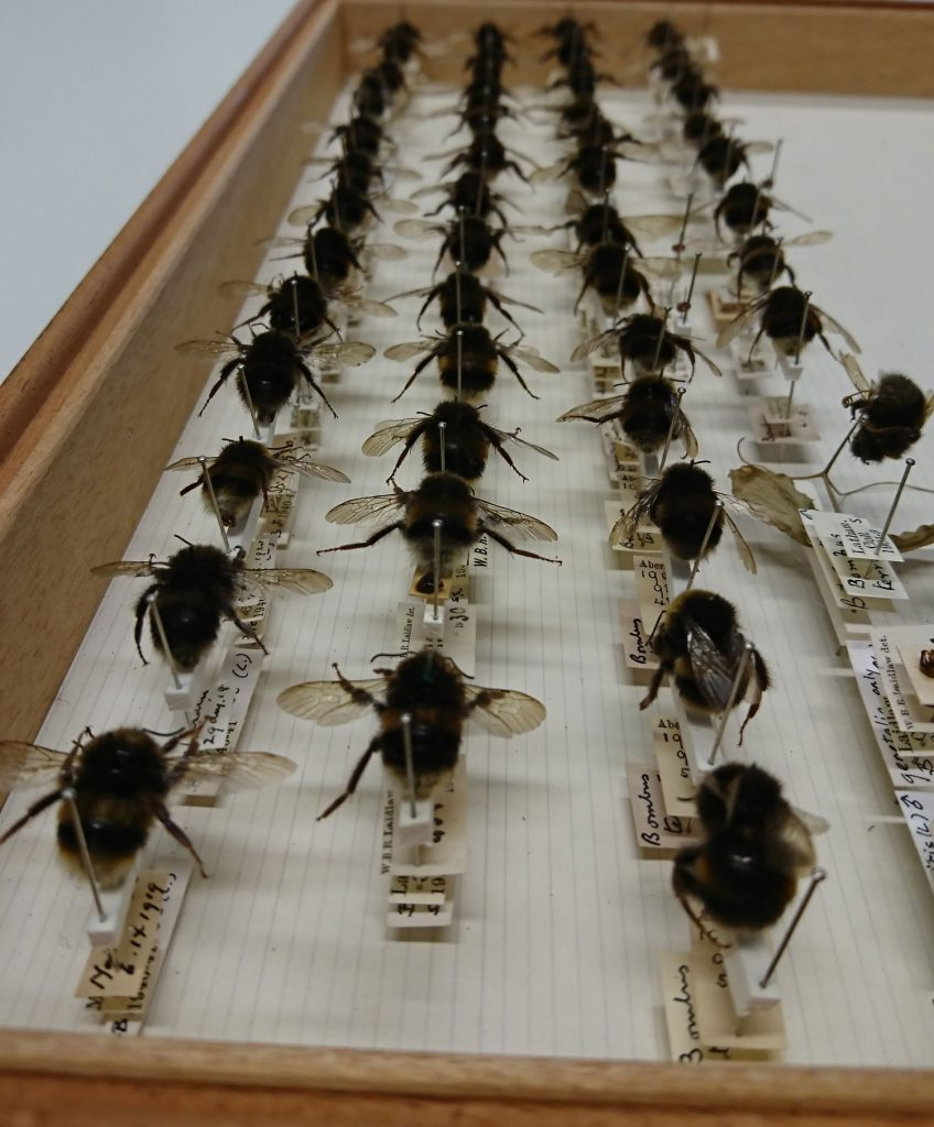 Drawer full of bees pinned in place with labels