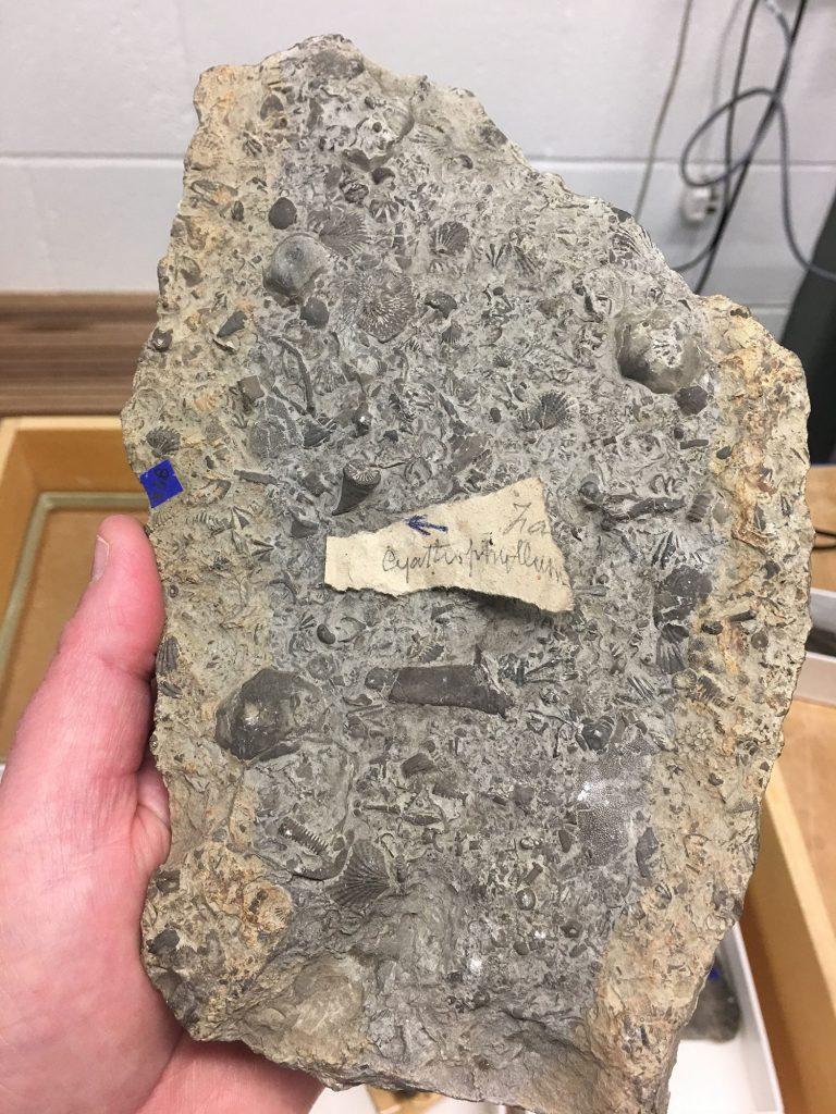 Faunal Slab containing the coralDalmanophyllum subduplicatum from Shropshire in England