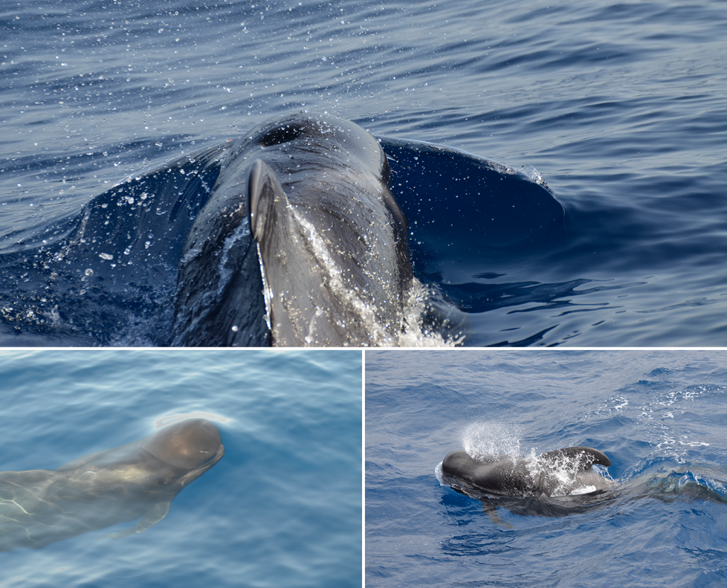 Composite image of three photographs of pilot whales frolicking in the sea.