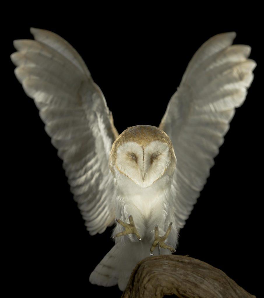 Photo of a barn owl in flight.