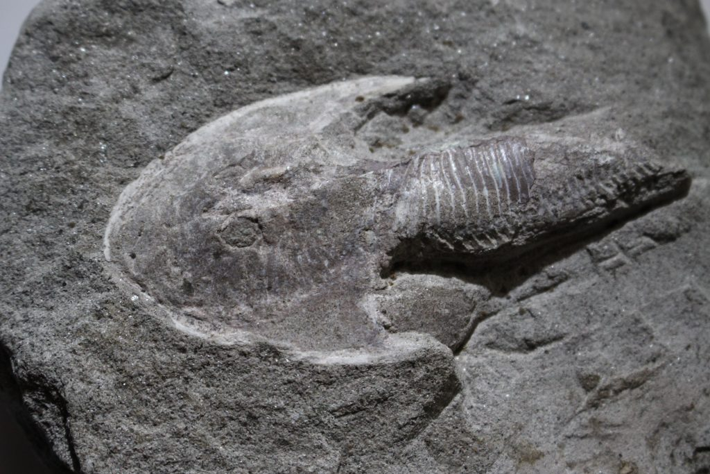 A grey fossil depicting an ancient fish.