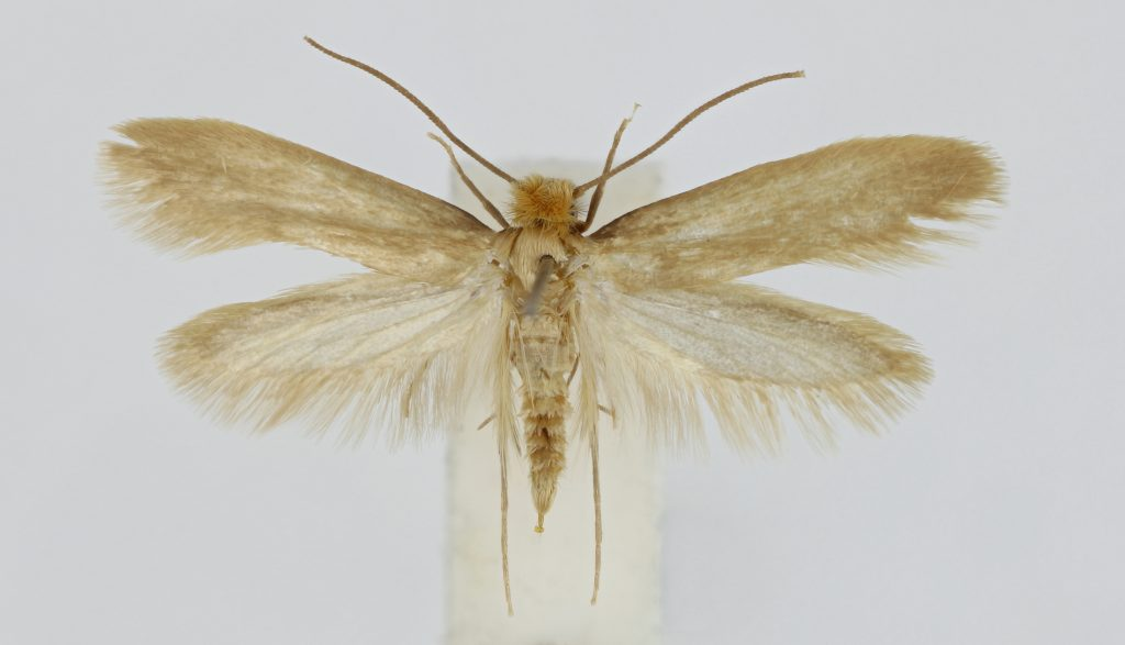 A pinned specimen of a clothes moth with its wings spread out
