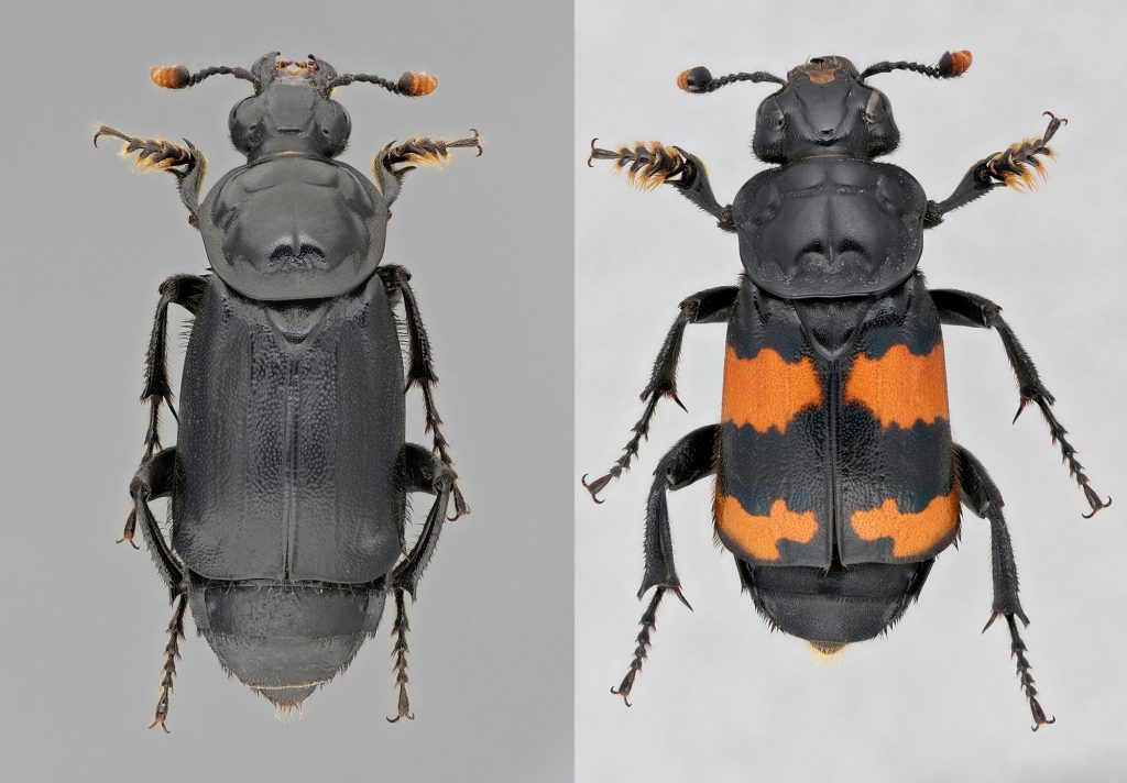 Two photos side by side of beetles. One the left is an all black beetle with orange at the end of its antennae and on the right is a black beetle with bright orange stripes on its back.
