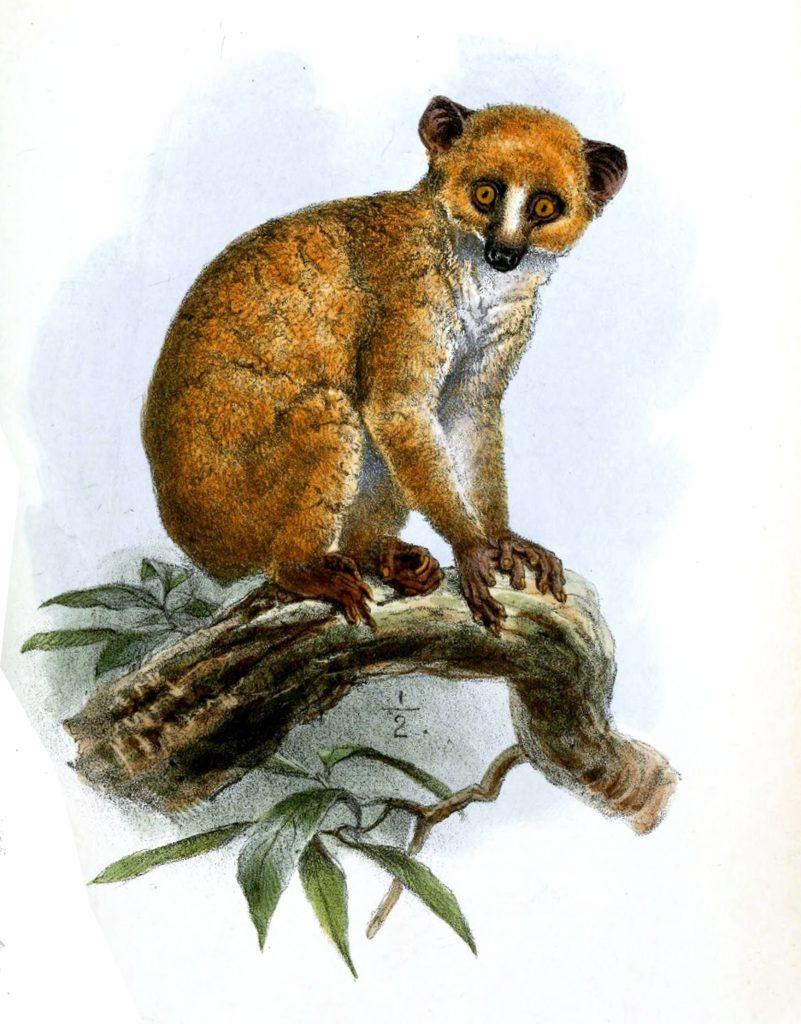 Illustration of an animal that looks a bit like a ginger lemur.
