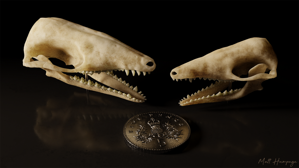 Two very small mammal skulls photographed against black with a 5 pence piece next to them for scale.