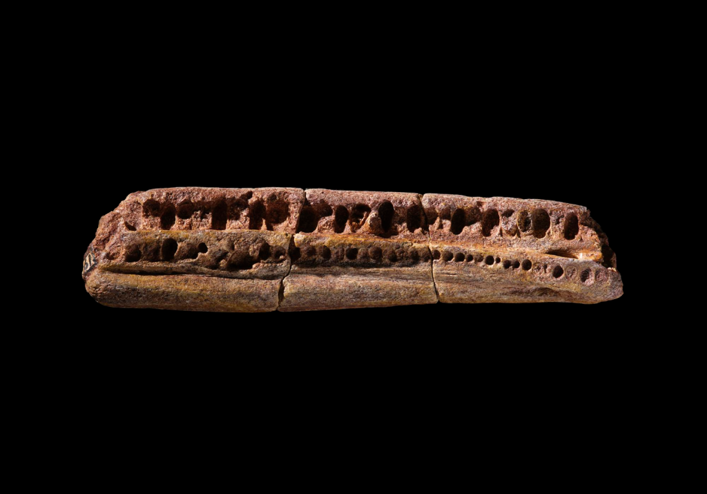 A fossil fragment of a jaw of an ancient mammal photographed against black.