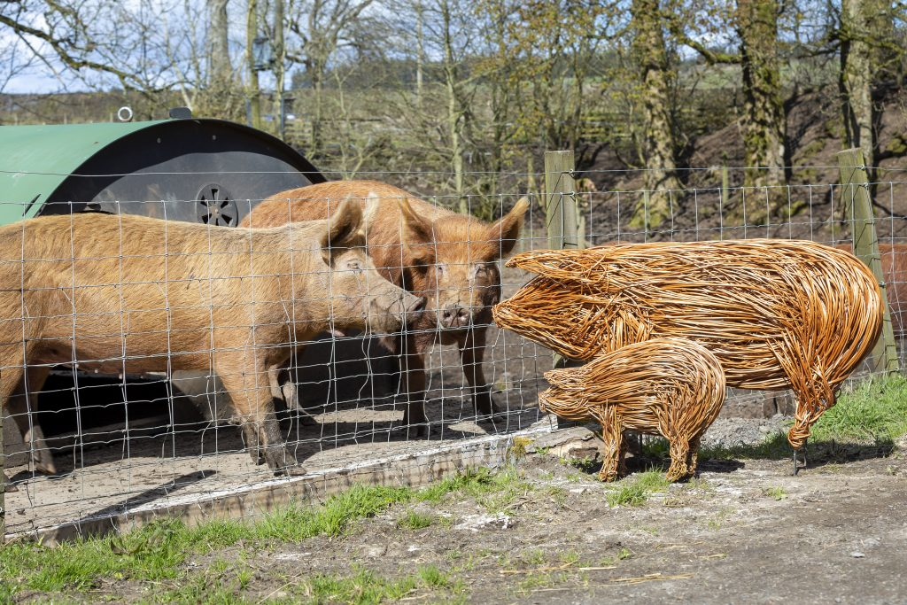 Colour photo of two pigs looking through the fence at a sculpture of two pig sculptures made from willow.