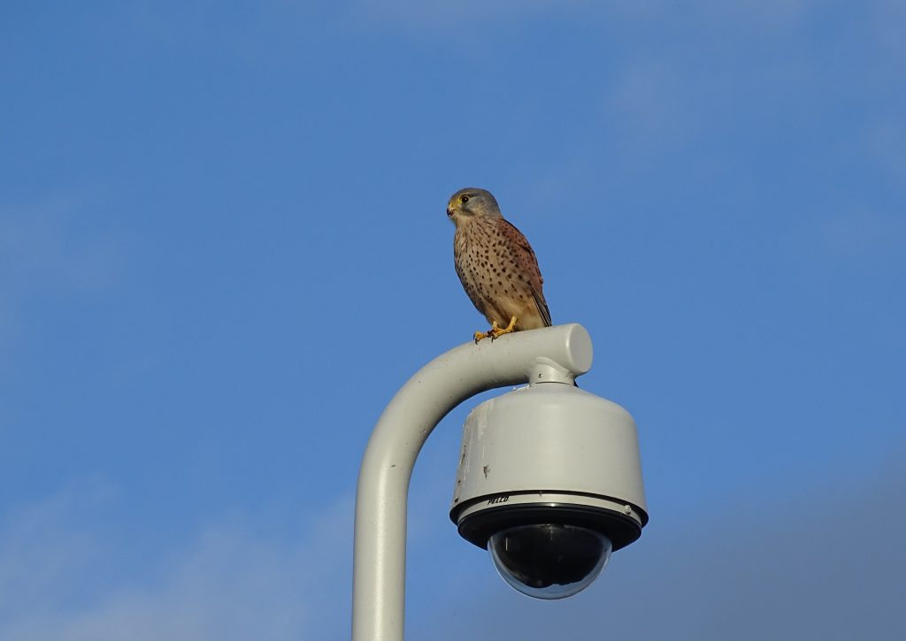 Photo of a kestrel sitting on a lamp post against a bright blue sky.