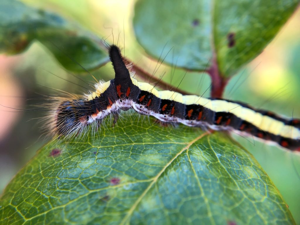 Black and yellow hairy caterpillar on a leaf.
