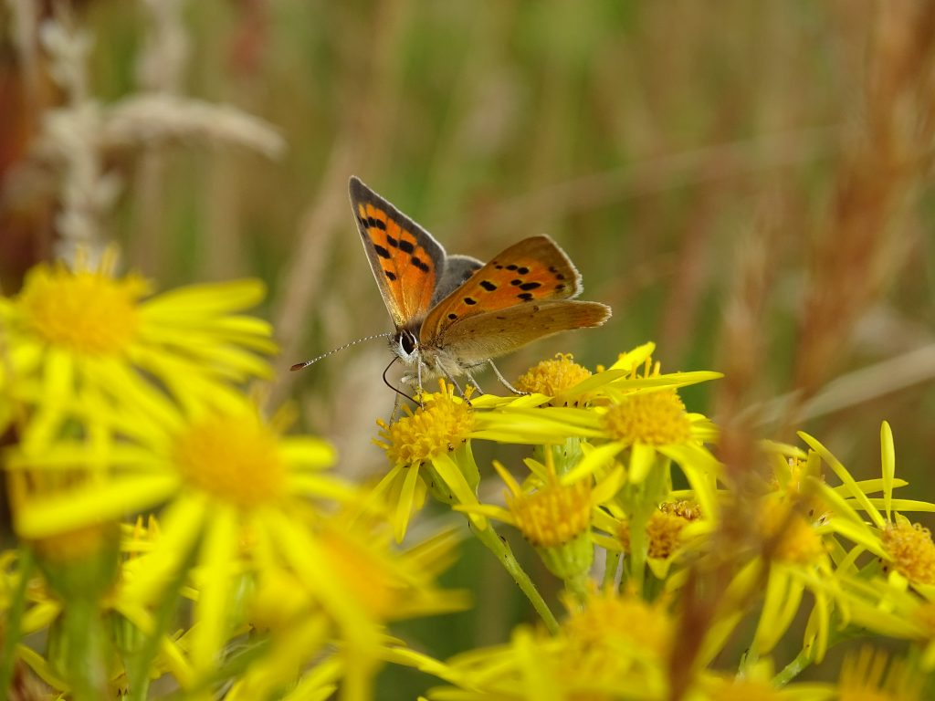 Butterfly sitting on yellow flowers.