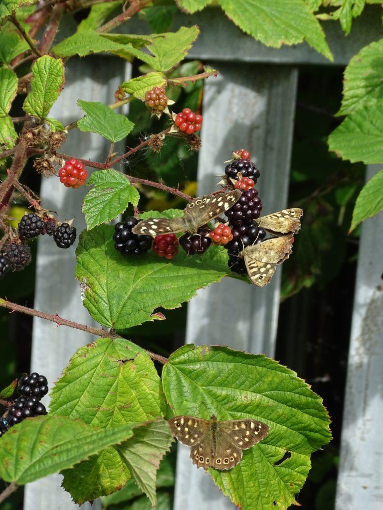 Butterflies on blackberries.